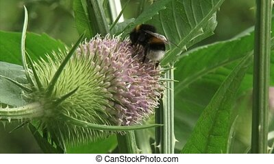 Pair of wild bees feed on nectar Teasel and fly away The...