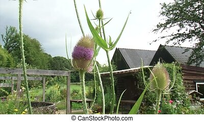 Common Teasel in bloom + pan garden, farmhouse in...