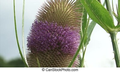 Common Teasel in bloom + zoom out, farmhouse in background....