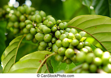 ripe coffee - Coffee beans ripening on the branch