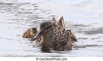 mallard duck - ducklings