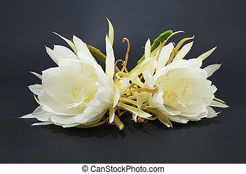 Epiphyllum Oxypetalum - Two Cactus Blossoms on Black...