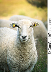 Sheeps - a Sheep on the Heather looking in the Camera