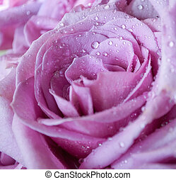 Purple Rose - A close-up of an unusual purple rose with...