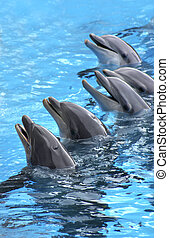 five dolphins - group of five dolphins in blue turquoise...