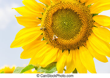 Fragment of a flower sunflower with bees against the sky