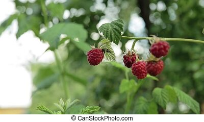 Raspberry on branch