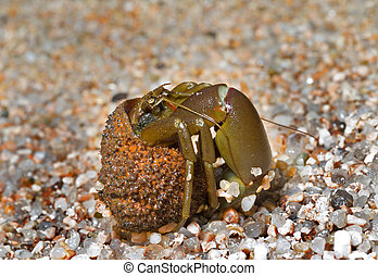 Hermit crab 13 - A close up of the hermit crab on sand.