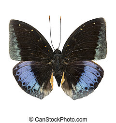 male Common Archduke - Blue and Green butterfly, male Common...