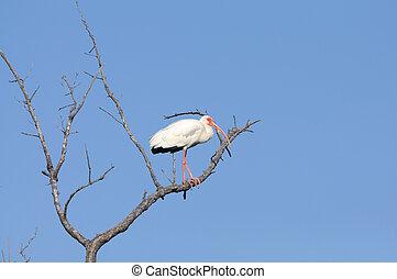 White Ibis (Eudocimus albus), Florida