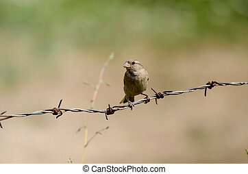 House sparrow on a rusty barbed wire