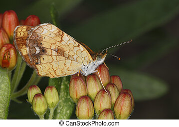 Female Pearly Crescentspot Butterfly on Butterfly Milkweed -...