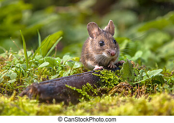 Wood mouse peeking - Wild Wood mouse peeking from behind a...