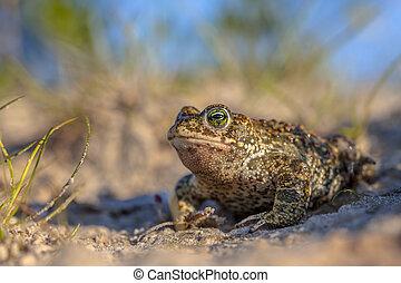 Natterjack toad in sandy habitat