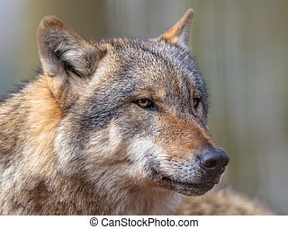 Portrait of Dangerous Grey Wolf - Big bad Gray Wolf Canis...
