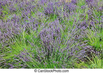 紫色, 淡紫色, 灌木, 在, 法國, Europe.,
