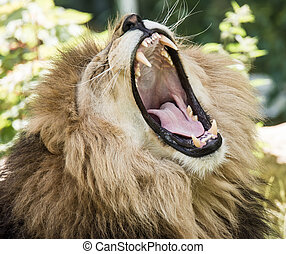 Portrait of a roaring lion - Portrait of a wild roaring lion...