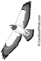 Swainsons, falcão