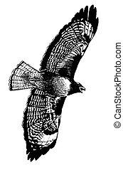 vermelho-red-tailed, falcão