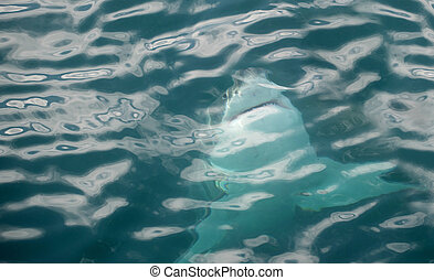 Great white shark swimming just underneath the water in...