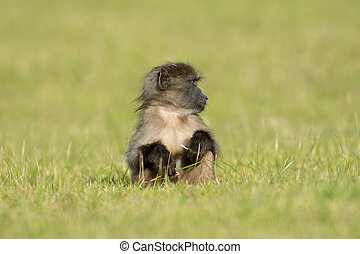 Baby chacma baboon eating in an open field near Simons Town,...