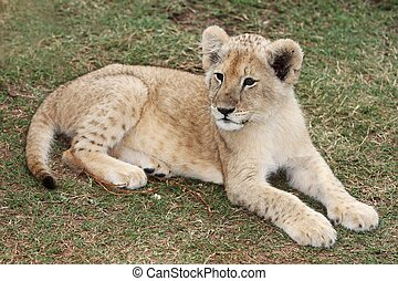 Lion Cub - Young lion cub resting on the African grass