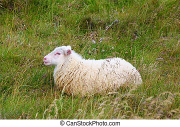 Icelandic sheep - White Icelandic sheep resting in a meadow...