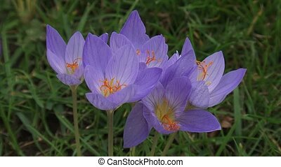 Colchicum autumnale, Autumn crocus blooming in lawn - high...