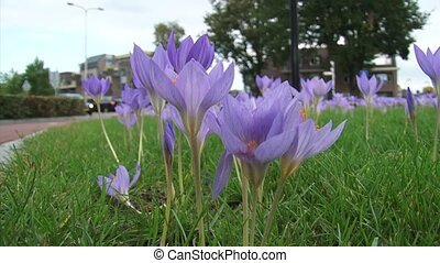 Autumn crocus blooming along roadside - low angle traffic in background