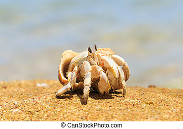 Crab - Hermit Crab in a screw shell