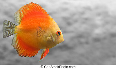Melon Discus Fish with Simple Gray Background