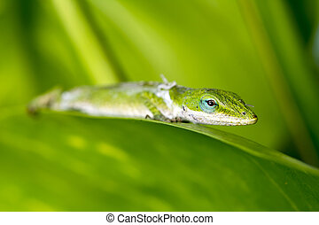 Gecko in rainforest - A Gecko shedding its old skin rests on...