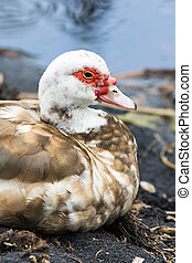 Muscovy duck - An old duck rests near the shore of a small...