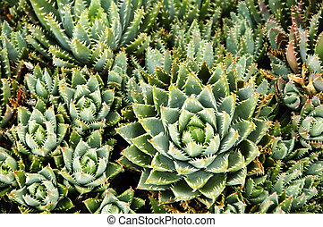 background of landscape of cactus whit spikes