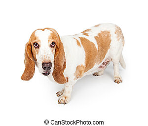 Basset Dog Standing Looking Forward - A happy adult Basset...