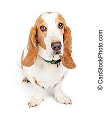 Cute and Sad Looking Basset Hound Dog