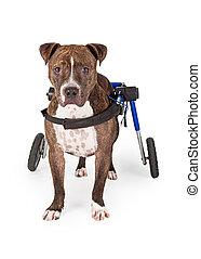 Handicapped Pit Bull Dog Standing In Wheelchair - A...