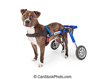 Handicapped Staffordshire Bull Terrier Dog In Wheelchair - A...