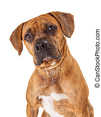 Head Shot Of Large Mixed Breed Dog - A gorgeous head shot of...