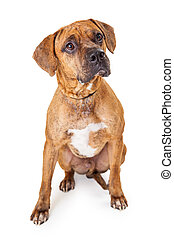 Well Trained Large Mixed Breed Dog Sitting - A well trained...