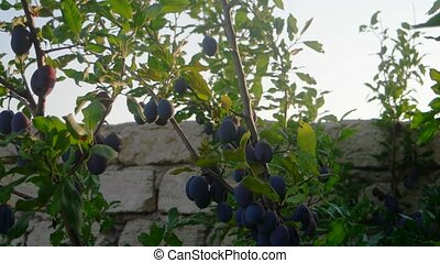 Blue (purple)  plums get ripe on branch. (Prunus domestica)