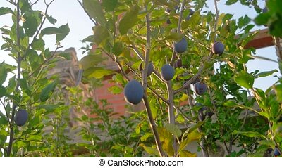 Group of purple (blue) plums get ripe on branch (Prunus...
