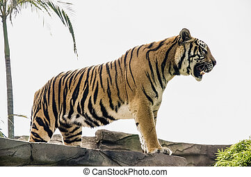 Beautiful roaring tiger - Image of a musculous roaring tiger...