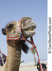 Cute transport camel with bridle - Cute transport camel with...