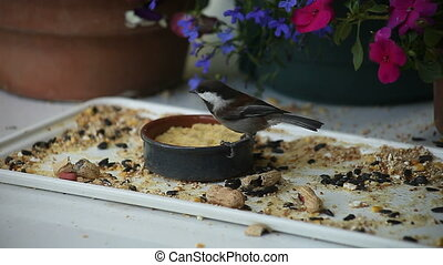 chickadee gets sunflower seed - a chestnut-backed chickadee...