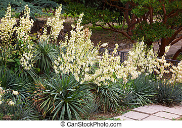 Bushes of the blossoming yucca in a botanical garden