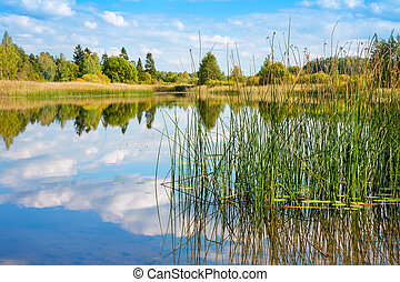 Forest lake Estonia - Reed in the water Paunkula lake,...