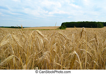landscape - golden wheat field under blue sky
