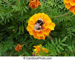 orange tagetes with humble-bee