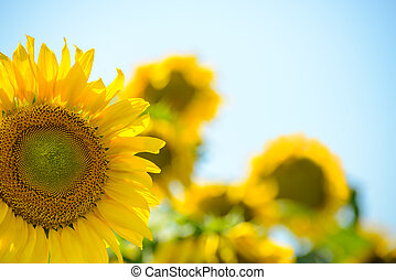 Beautiful Bright Sunflowers Against the Blue Sky